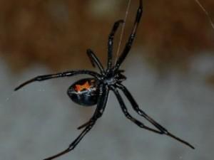Каракурт чёрная вдова фото. Укус ядовитого паука